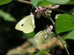Две бабочки на цветке * природа * цифровая фотография