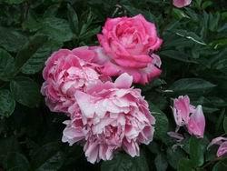Пионы и розы в саду * природа * цифровая фотография
