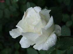 Белая роза * природа * цифровая фотография