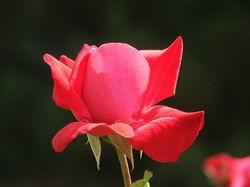 Роза в парке Дюльбера - красное на черном * природа * цифровая фотография