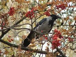 Ворона на рябине * природа * цифровая фотография